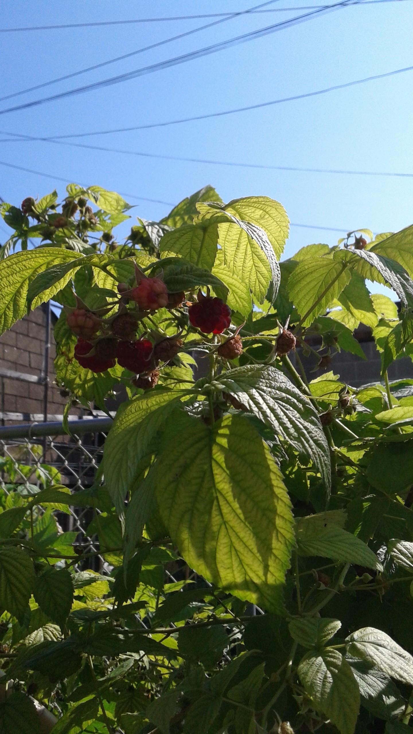 First raspberries, 2 July 2015